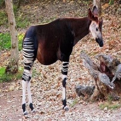 Animais Estranho - Ocapi