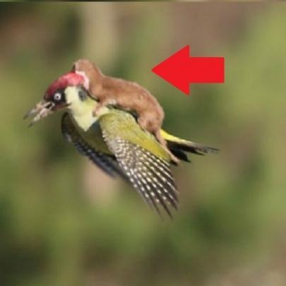 Pediu carona?, Fotógrafo flagra furão voando...