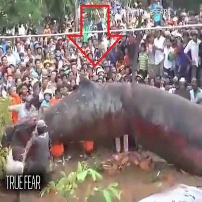 Foi encontrado no Camboja verme do tamanho de...