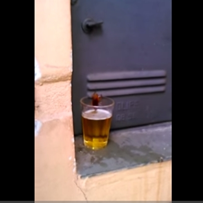 Barata bebendo cerveja